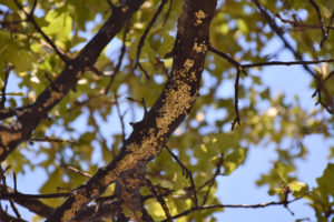 Common Diseases on Oklahoma Trees